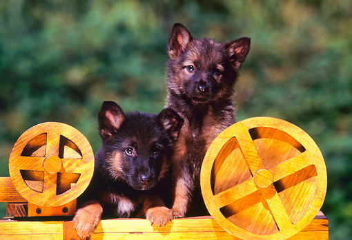 PUP 15 RK0049 06 © Kimball Stock German Shepherd Puppies Sitting And Laying By Wooden Wheels