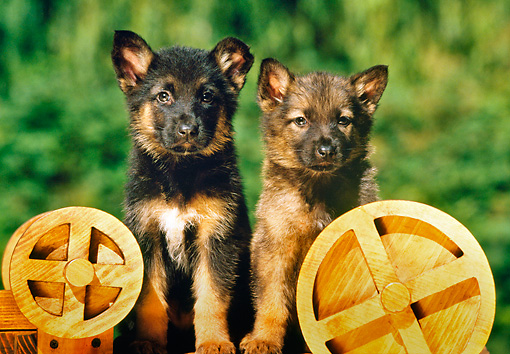 PUP 15 RK0050 08 © Kimball Stock Two German Shepherd Puppies Sitting By Wooden Wheels By Shrubs