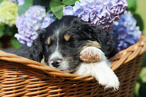 PUP 15 SS0003 01 © Kimball Stock Close-Up Of Australian Shepherd Puppy Sleeping In Basket Of Flowers