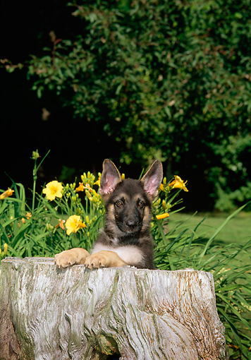 PUP 15 CE0001 01 © Kimball Stock German Shepherd Puppy Leaning On Tree Stump By Yellow Flowers