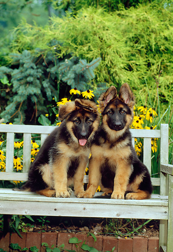PUP 15 CE0003 01 © Kimball Stock Two German Shepherd Puppies Sitting On Wooden Bench By Flowers