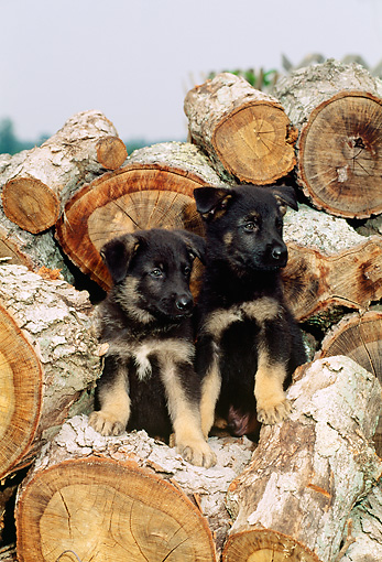 PUP 15 CE0004 01 © Kimball Stock Two German Shepherd Puppies Sitting On Woodpile