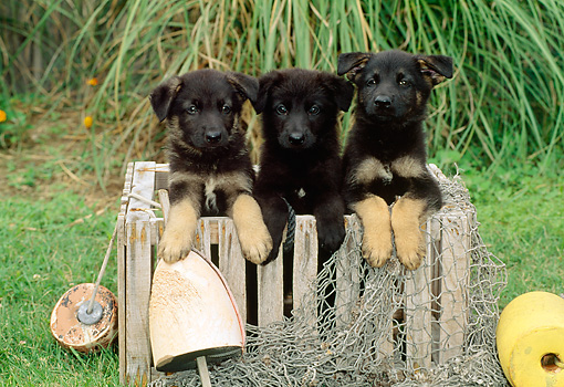 PUP 15 CE0006 01 © Kimball Stock Three German Shepherd Puppies Sitting In Wooden Crate