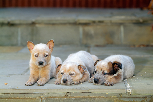 PUP 15 CE0010 01 © Kimball Stock Three Australian Cattle Dog Puppies Laying On Stone Step