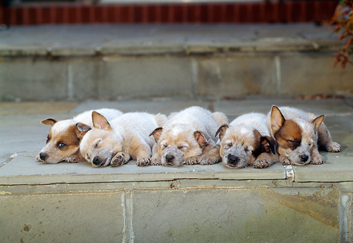 PUP 15 CE0011 01 © Kimball Stock Five Australian Cattle Dog Puppies Laying On Stone Step