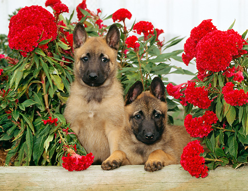 PUP 15 CE0013 01 © Kimball Stock Two Belgian Malinois Puppies Sitting By Red Flowers
