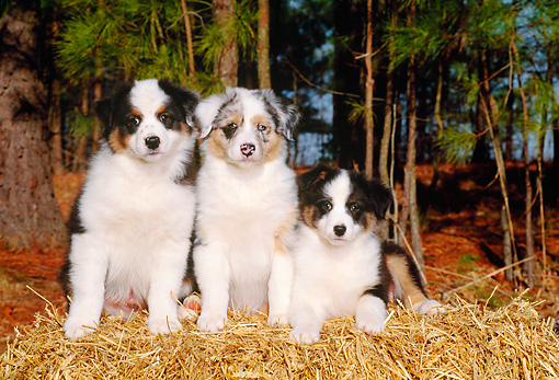 PUP 15 CE0014 01 © Kimball Stock Three Australian Shepherd Puppies Sitting On Hay Bale By Trees