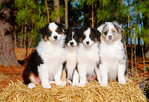 PUP 15 CE0015 01 © Kimball Stock Four Australian Shepherd Puppies Sitting On Hay Bale By Trees