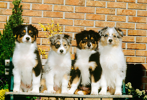 PUP 15 CE0017 01 © Kimball Stock Four Australian Shepherd Puppies Sitting On Wooden Bench By Brick Wall