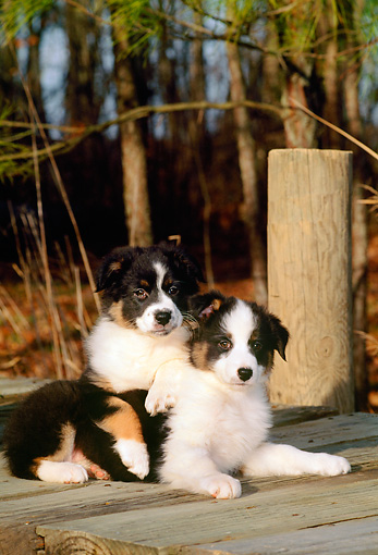 PUP 15 CE0019 01 © Kimball Stock Two Australian Shepherd Puppies Laying On Dock By Trees