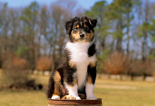 PUP 15 CE0021 01 © Kimball Stock Australian Shepherd Puppy Sitting On Barrel By Trees