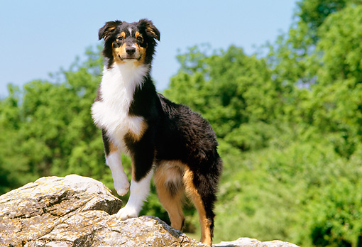 PUP 15 CE0024 01 © Kimball Stock Australian Shepherd Puppy Standing On Boulder By Trees