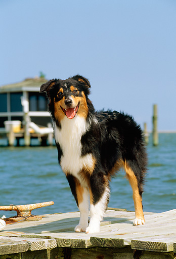 PUP 15 CE0025 01 © Kimball Stock Australian Shepherd Puppy Standing On Dock By Water