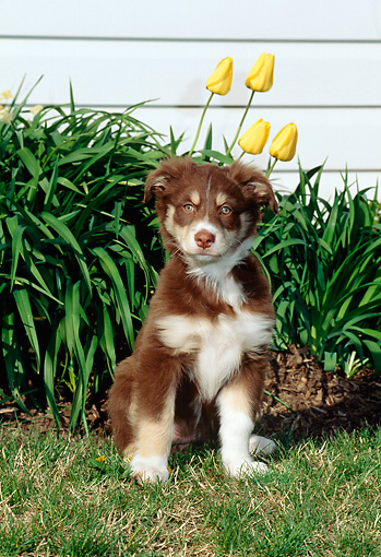 PUP 15 CE0029 01 © Kimball Stock Australian Shepherd Puppy Sitting On Grass By Yellow Flowers