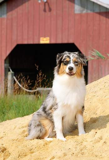 PUP 15 CE0030 01 © Kimball Stock Australian Shepherd Puppy Sitting On Sand By Boathouse