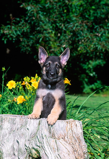 PUP 15 CE0031 01 © Kimball Stock German Shepherd Puppy Stepping On Tree Stump By Flowers