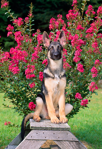 PUP 15 CE0032 01 © Kimball Stock German Shepherd Puppy Sitting On Stepladder By Flowering Shrub