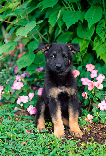 PUP 15 CE0035 01 © Kimball Stock German Shepherd Puppy Sitting By Pink Flowers