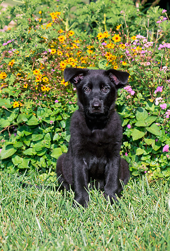PUP 15 CE0037 01 © Kimball Stock Black German Shepherd Puppy Sitting On Grass By Yellow Flowers