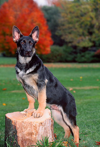 PUP 15 CE0038 01 © Kimball Stock German Shepherd Puppy Stepping On Tree Stump On Grass By Trees