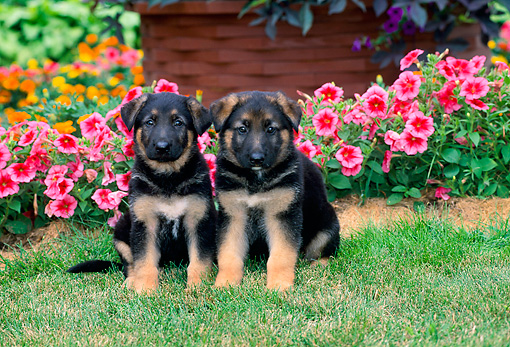 PUP 15 CE0041 01 © Kimball Stock Two German Shepherd Puppies Sitting On Grass By Pink Flowers