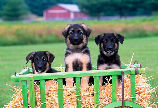 PUP 15 CE0042 01 © Kimball Stock Three German Shepherd Puppies Sitting On Hay In Cart