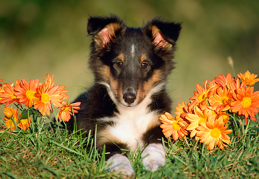PUP 15 GR0010 01 © Kimball Stock Head On Shoulder Shot Of Shetland Sheepdog Puppy Laying On Grass By Flowers