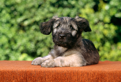 PUP 15 RC0006 01 © Kimball Stock Portrait Of Irish Wolfhound Puppy Laying On Table Foliage Background