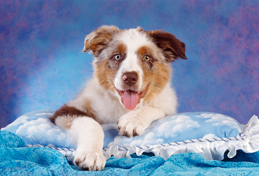 PUP 15 RC0008 01 © Kimball Stock Blue Merle Australian Shepherd Puppy Laying On Blue Pillow