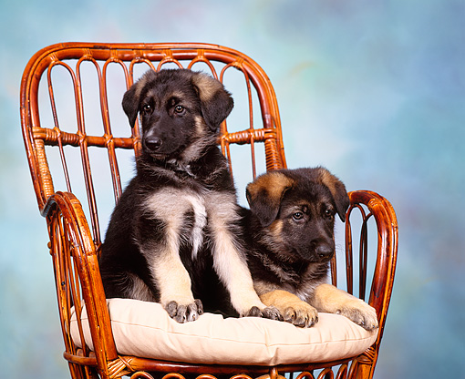 PUP 15 RK0008 02 © Kimball Stock German Shepherd Puppies Sitting Closely Together On Chair Blue Mottled Background Facing Camera