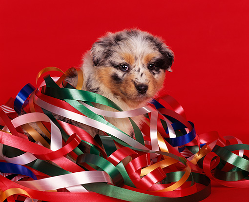 PUP 15 RK0017 09 © Kimball Stock Australian Shepherd Puppy Head Shot Wrapped In Christmas Ribbon Facing Camera Red Background