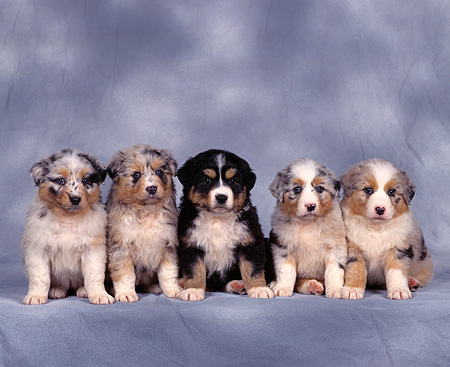 PUP 15 RK0021 03 © Kimball Stock Australian Shepherd Puppies And Bernese Mountain Dog Puppy Sitting In A Row Gray Mottled Background