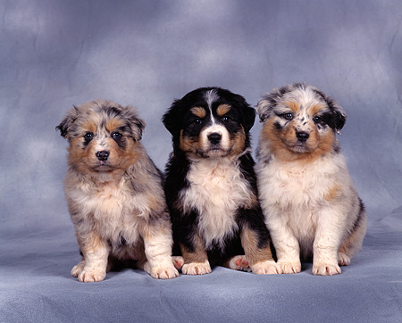 PUP 15 RK0021 08 © Kimball Stock Australian Shepherd Puppies And Bernese Mountain Dog Puppy Sitting In A Row Gray Mottled Background
