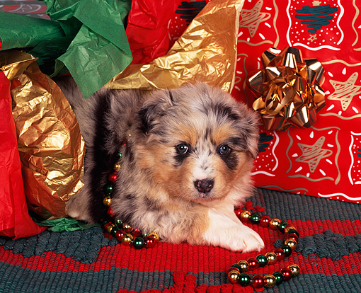 PUP 15 RK0023 06 © Kimball Stock Australian Shepherd Puppy Laying By Christmas Present And Decorations