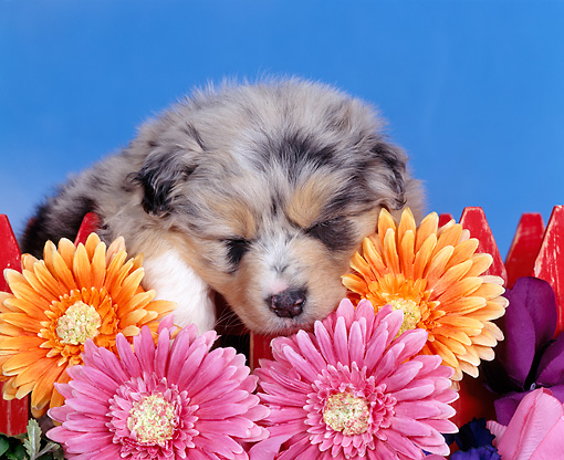 PUP 15 RK0024 01 © Kimball Stock Head Shot Of Australian Shepherd By Red Fence And Flowers Blue Sky Studio