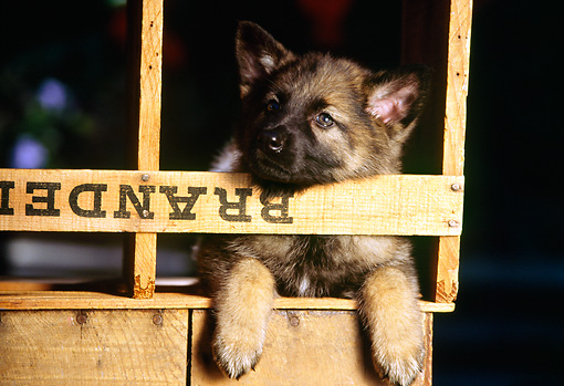 PUP 15 RK0028 11 © Kimball Stock German Shepherd Puppy Laying In Wooden Crate