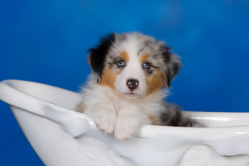 PUP 15 RK0092 01 © Kimball Stock Head Shot Of Australian Shepherd Laying In Bathtub