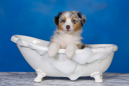 PUP 15 RK0094 01 © Kimball Stock Head Shot Of Australian Shepherd Laying In Bathtub