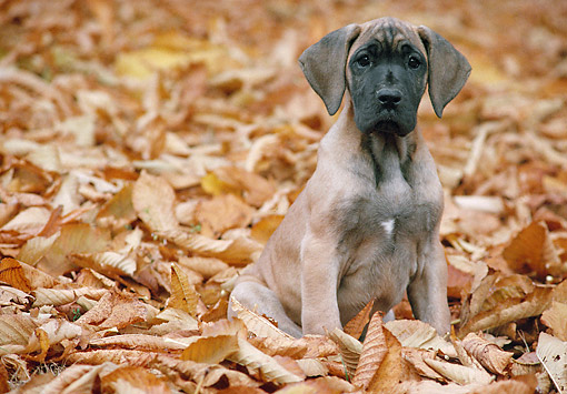 PUP 16 AB0001 01 © Kimball Stock Great Dane Puppy Sitting In Fallen Leaves