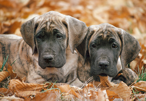 PUP 16 AB0003 01 © Kimball Stock Two Great Dane Puppies Laying In Fallen Leaves