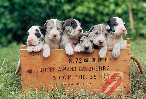 PUP 16 AB0004 01 © Kimball Stock Six Great Dane Puppies Sitting In Wooden Box On Grass