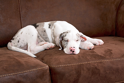 PUP 16 JE0005 01 © Kimball Stock Great Dane Puppy Sleeping On Brown Couch