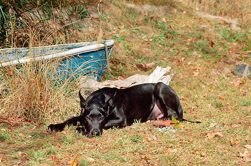 PUP 16 CE0004 01 © Kimball Stock Great Dane Puppy Laying On Grass By Old Rowboat