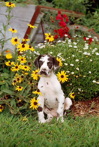PUP 16 CE0009 01 © Kimball Stock Great Dane Puppy Sitting On Grass By Flowers And Wheelbarrow
