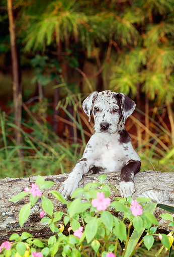 PUP 16 CE0011 01 © Kimball Stock Blue Merle Great Dane Puppy Sitting Behind Log By Pink Flowers