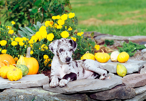PUP 16 CE0012 01 © Kimball Stock Blue Merle Great Dane Puppy Laying On Stone Wall By Gourds And Yellow Flowers