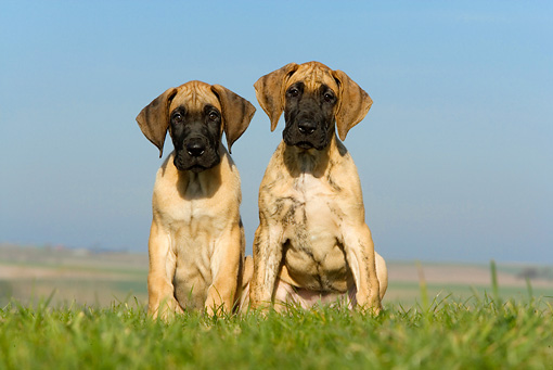 PUP 16 KH0004 01 © Kimball Stock Two Great Dane Puppies Sitting In Field