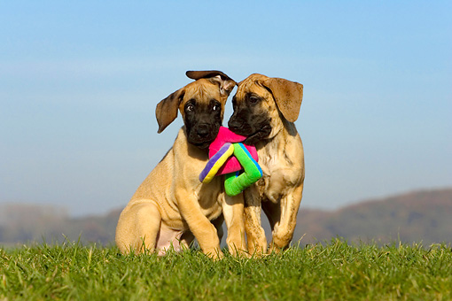 PUP 16 KH0006 01 © Kimball Stock Two Great Dane Puppies Playing With Toy In Field