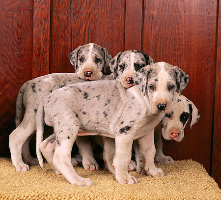 PUP 16 RK0002 01 © Kimball Stock Harlequin Great Dane Puppies Against Wooden Wall