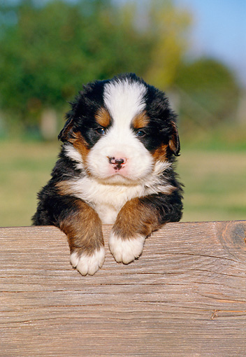 PUP 17 CB0002 01 © Kimball Stock Bernese Mountain Dog Puppy Leaning On Wooden Bench